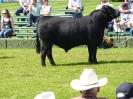 Prize winning bull a
